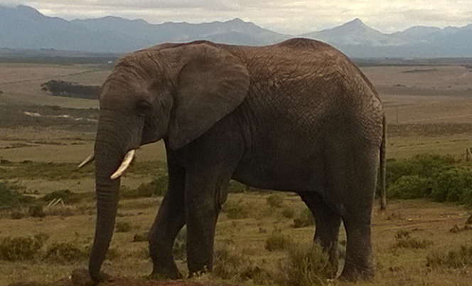 Elephant - Garden Route Game Lodge
